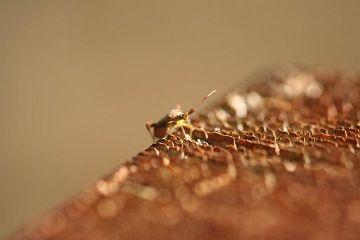 guillory bug micro closeup