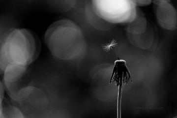 dandelion deeliriouss photography nature bokeh