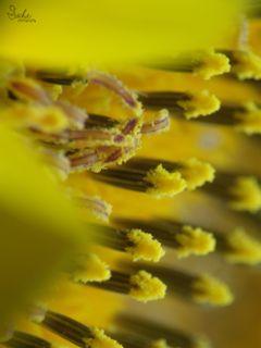 yellow sunflower summer closeup nature