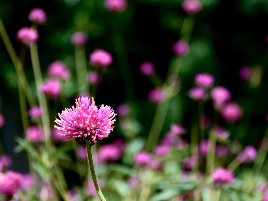 Pretty in Pink. I believe this flower is called sea thrift. [*F] #freetoedit #photography #nature #macro #flower #pink #pinkandgreen
