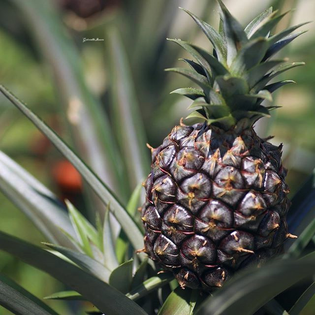 #PineApple #Fruit #photography #food #summer