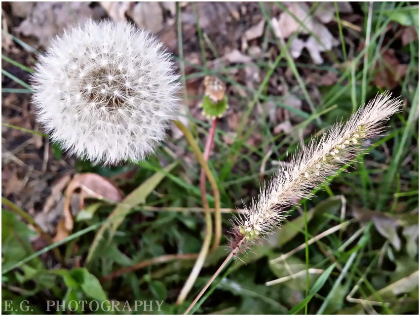 #weeds #photography #nature  2 kinds of fluffy ♡♡