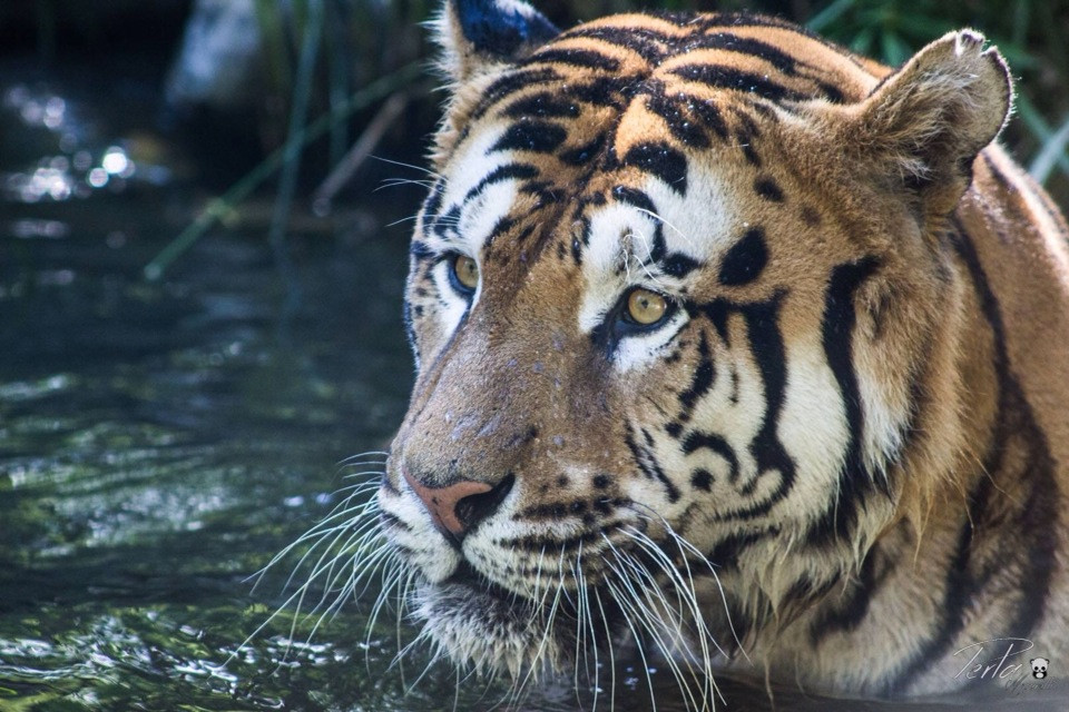 #italy  #Pistoia #Zoo #nature  #travel  #photography  #animal  #tiger