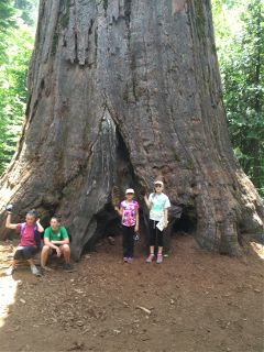 giantsequoia tree